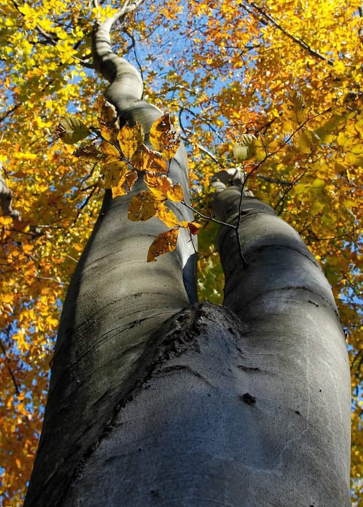 A low angle of an oriental beech tree