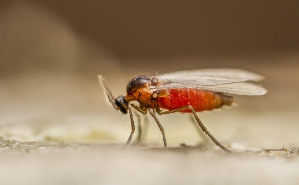 Cecidomyid gall gnat up close