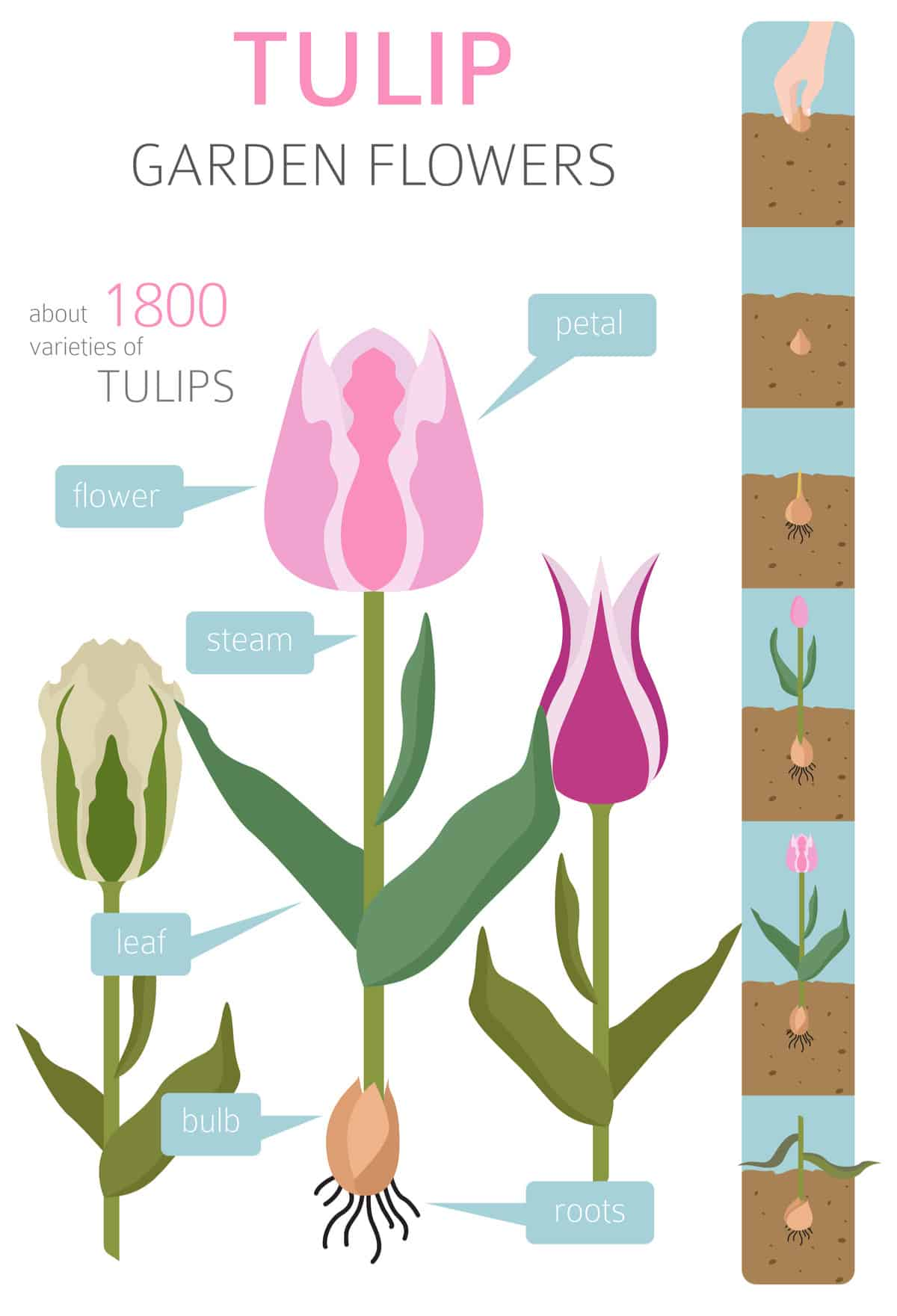 Parts of a tulip and planting instructions graphic