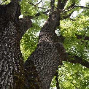 Tall Ash tree