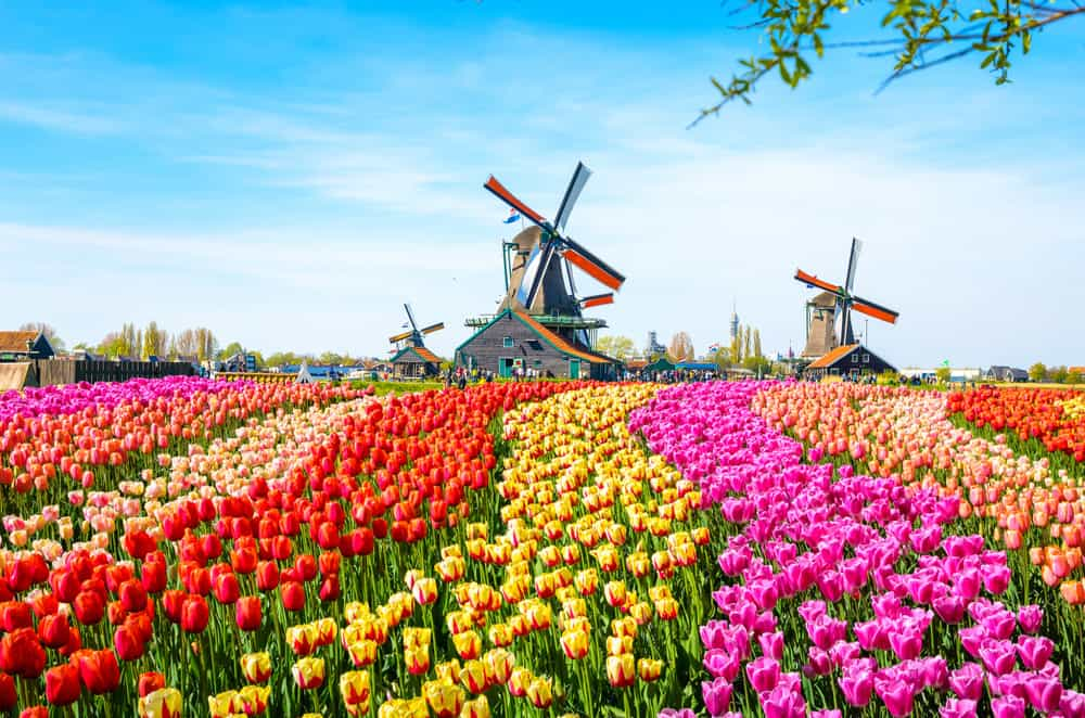 Tulip fields in Netherlands with windmill