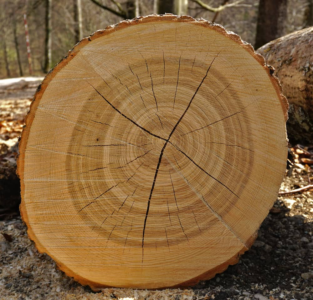 Bisected ash tree log showing splits and tree rings sitting in a forest