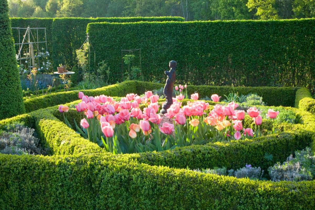 Knot garden hedge wrapping around tulips