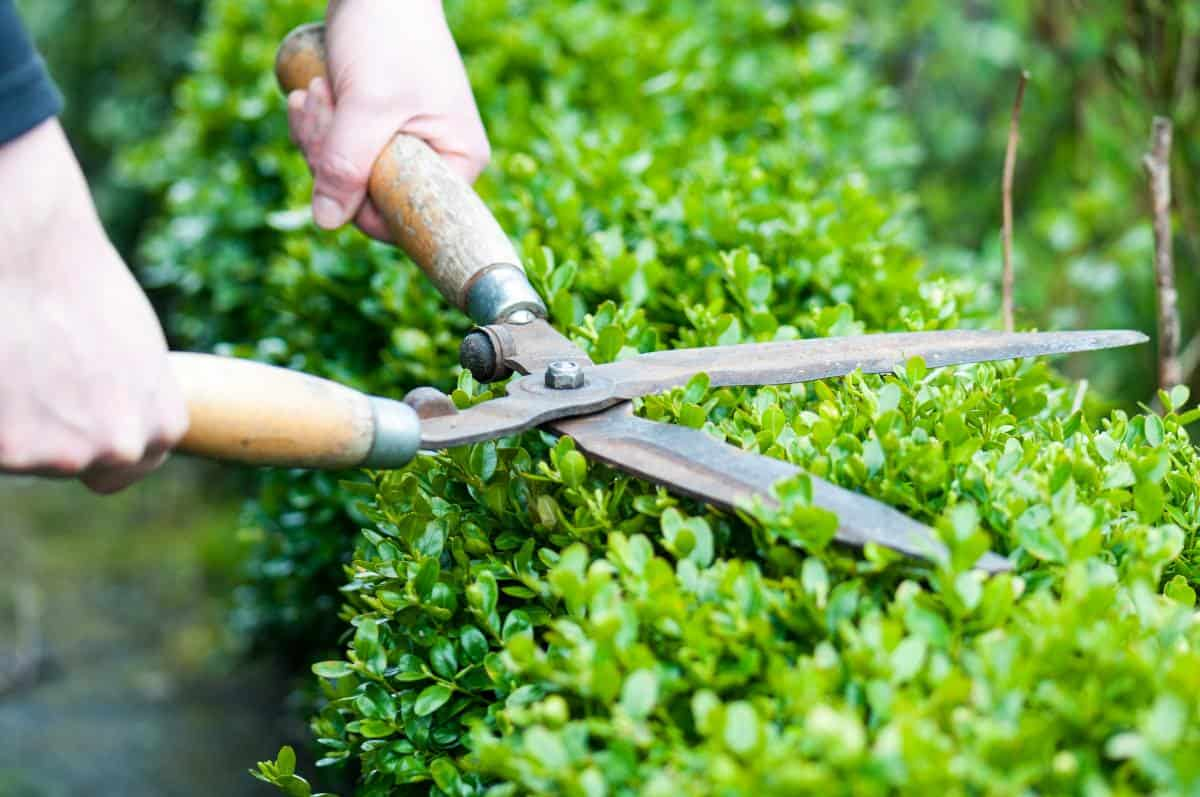Person pruning knot garden boxwood