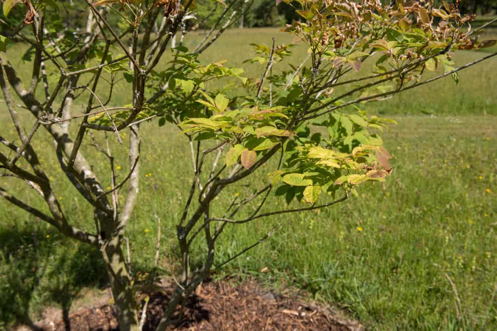 Small multistemmed Japanese ash tree growing in a garden