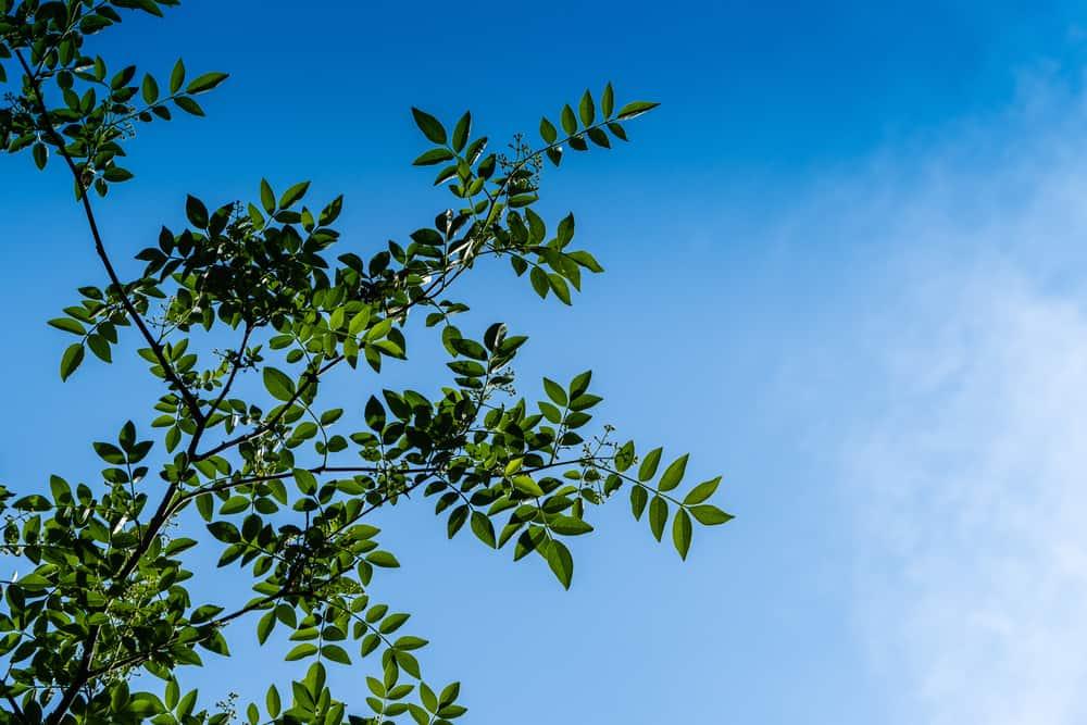 Gazing up at compound leaves of littleleaf ash tree against blue sky