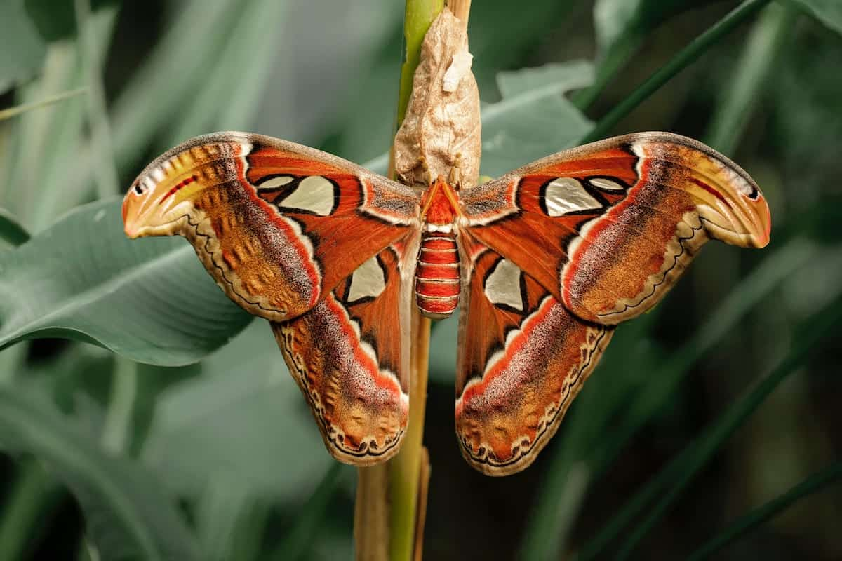 Photo of a large red moth that looks very attractive.