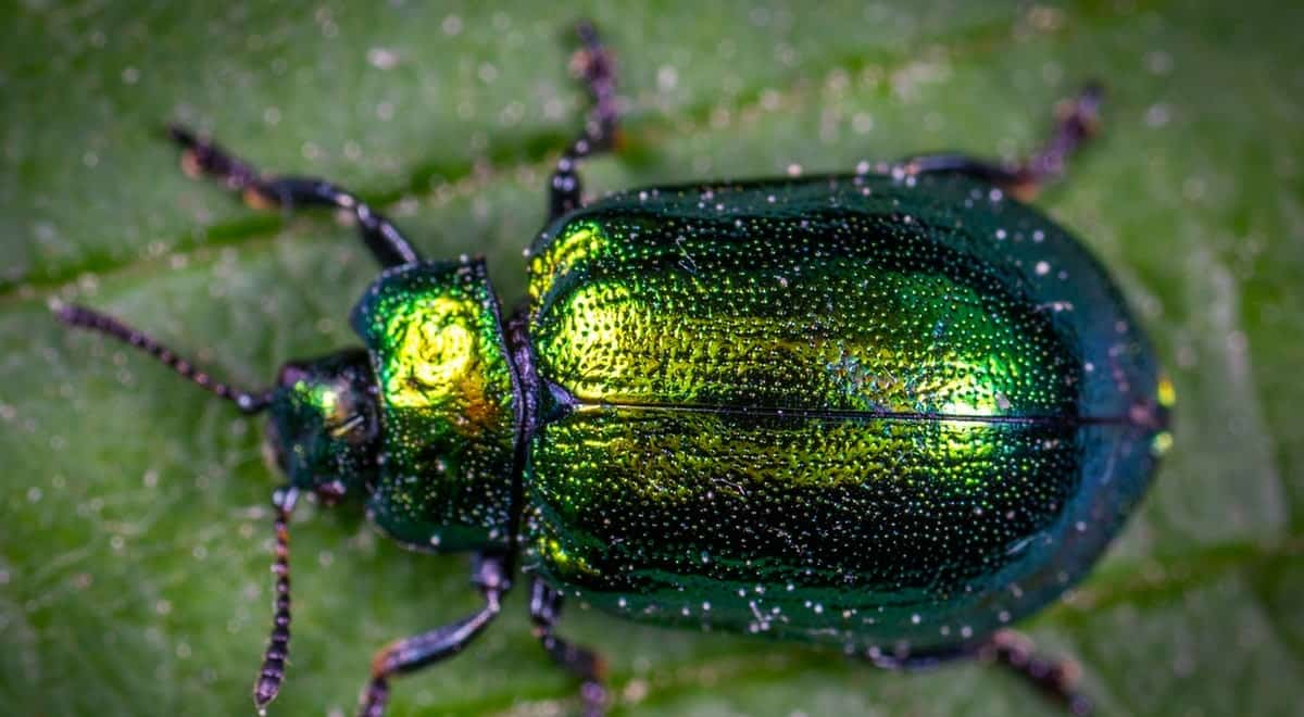 A jewel beetle on a green leaf.