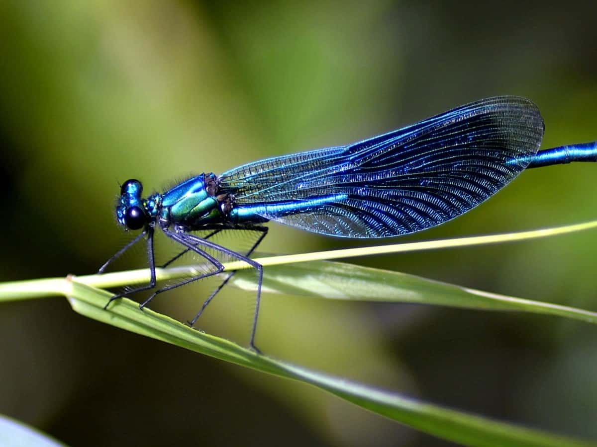 A blue dragonfly on a very thin leaf.