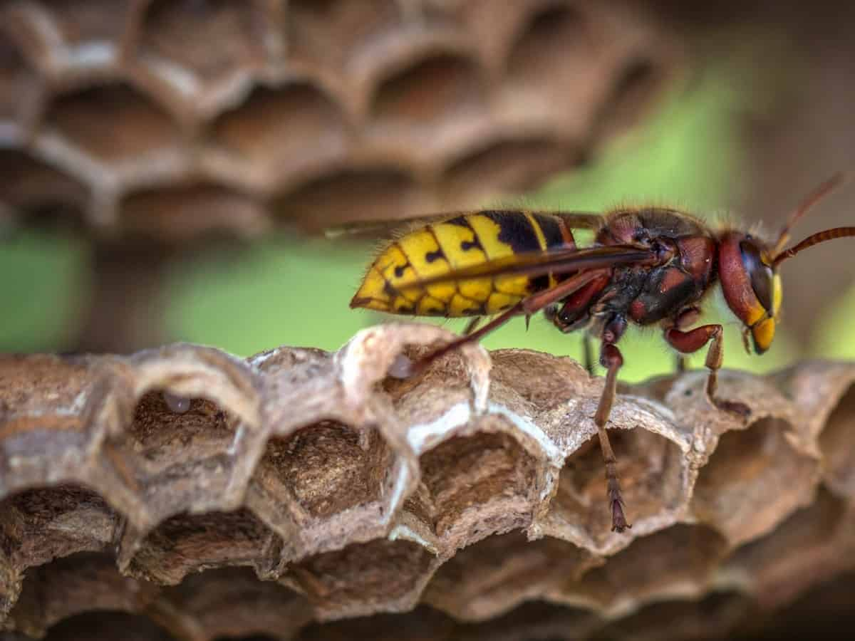 A yellow jacket wasp,  which almost looks like a bee.