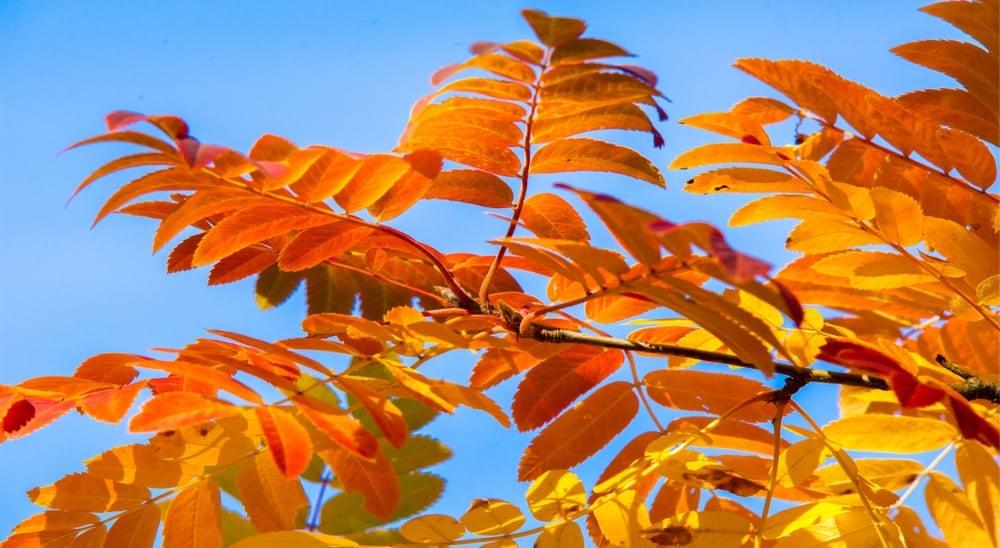 Bright orange leaves of the pumpkin ash tree against a blue sky