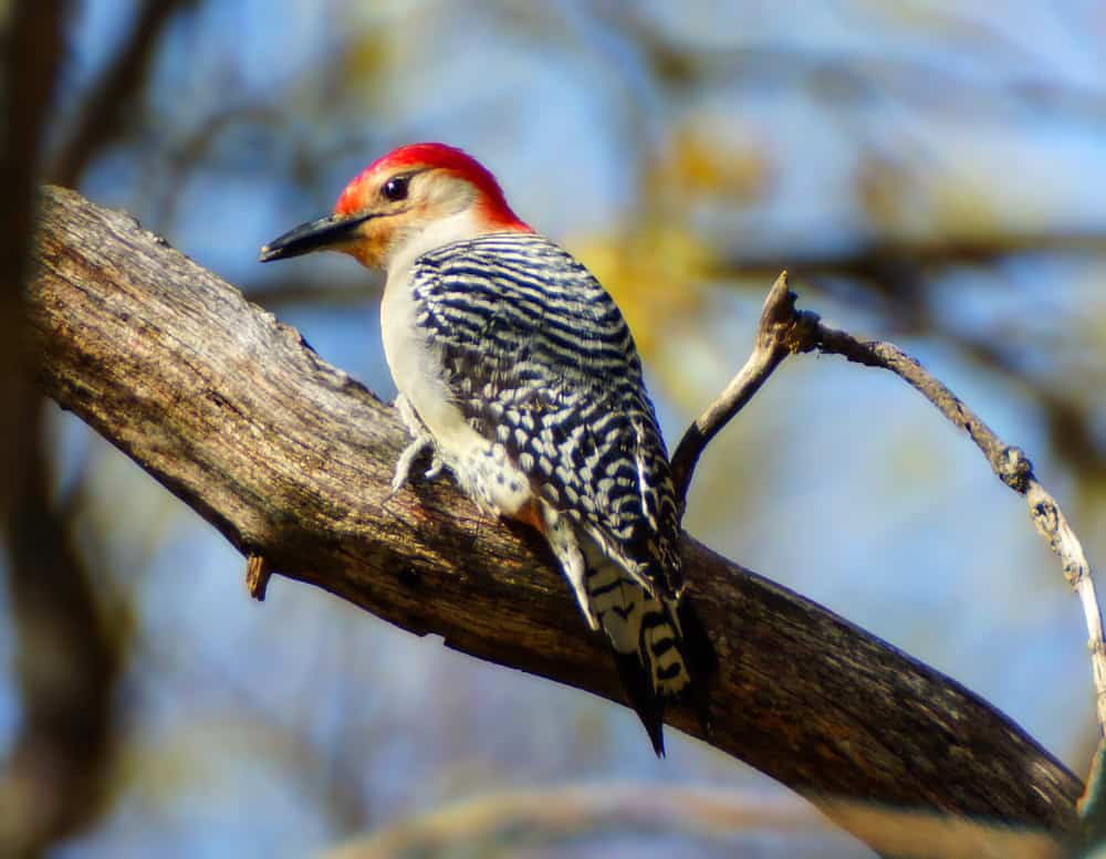Red bellied woodpecker sitting on the branch of an ash tree