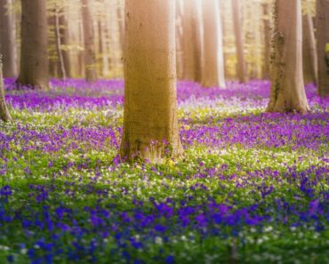 A Beautiful Forest of Bluebell Flowers