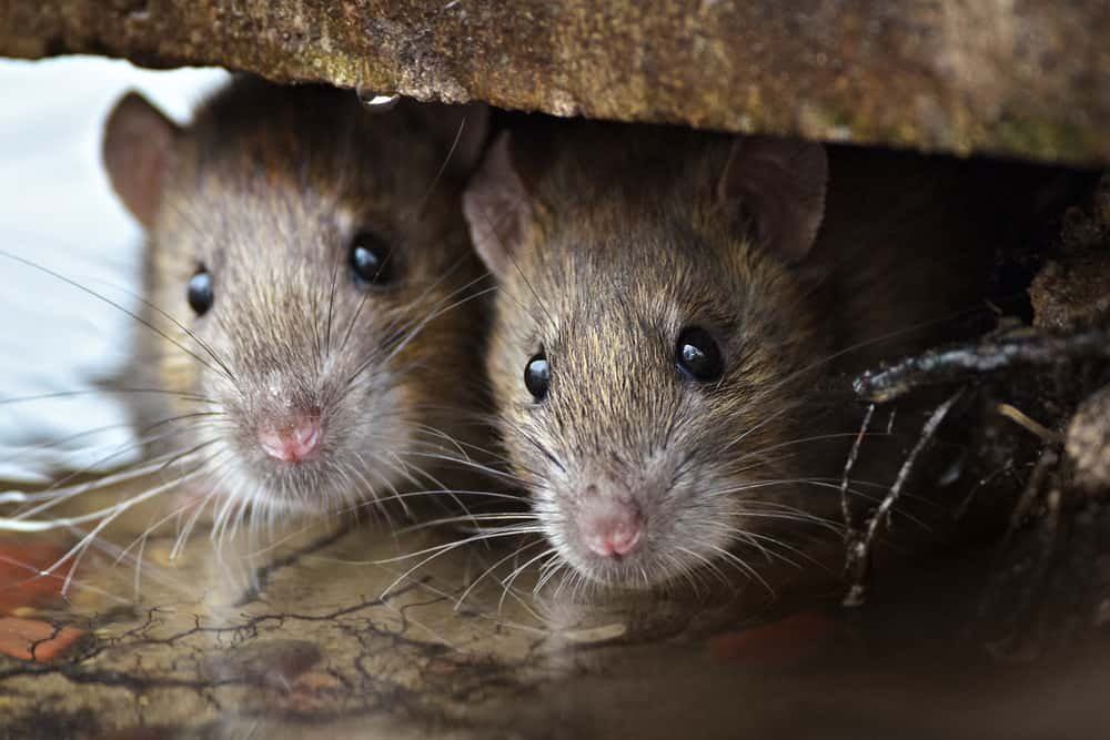 Rats huddled together under a table