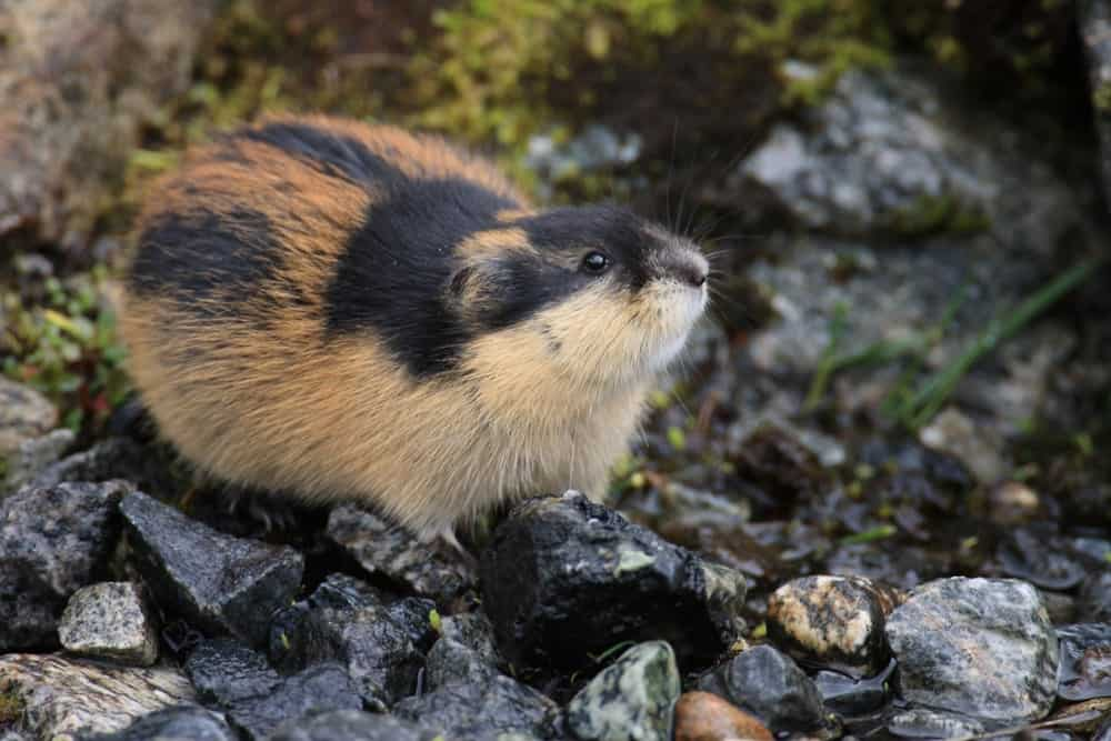 Lemming resting on rocks