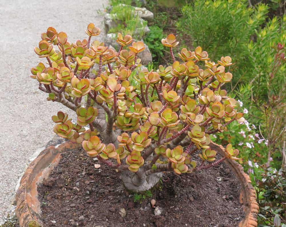 Crassula Ovata Little Jade Tree