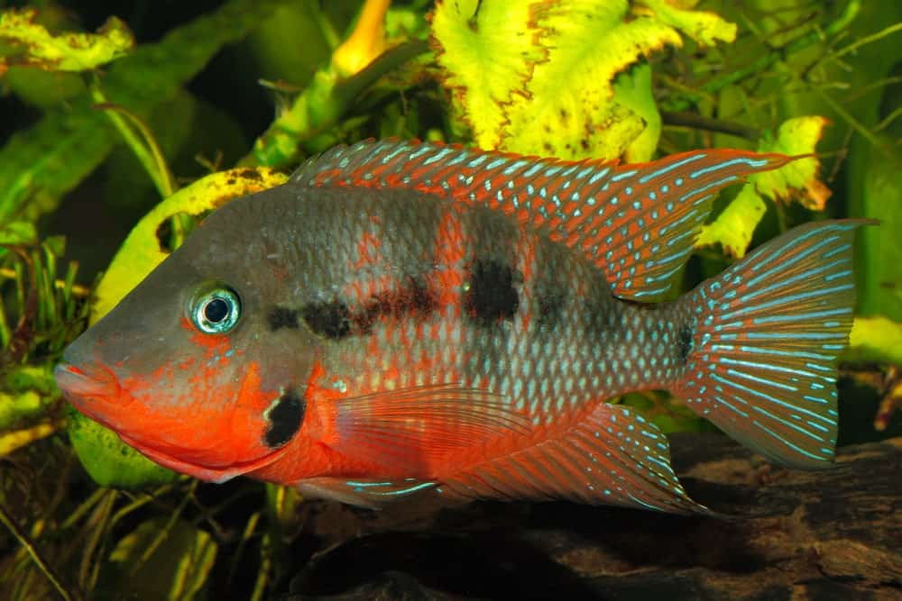 Fire Mouth Cichlid in a tank