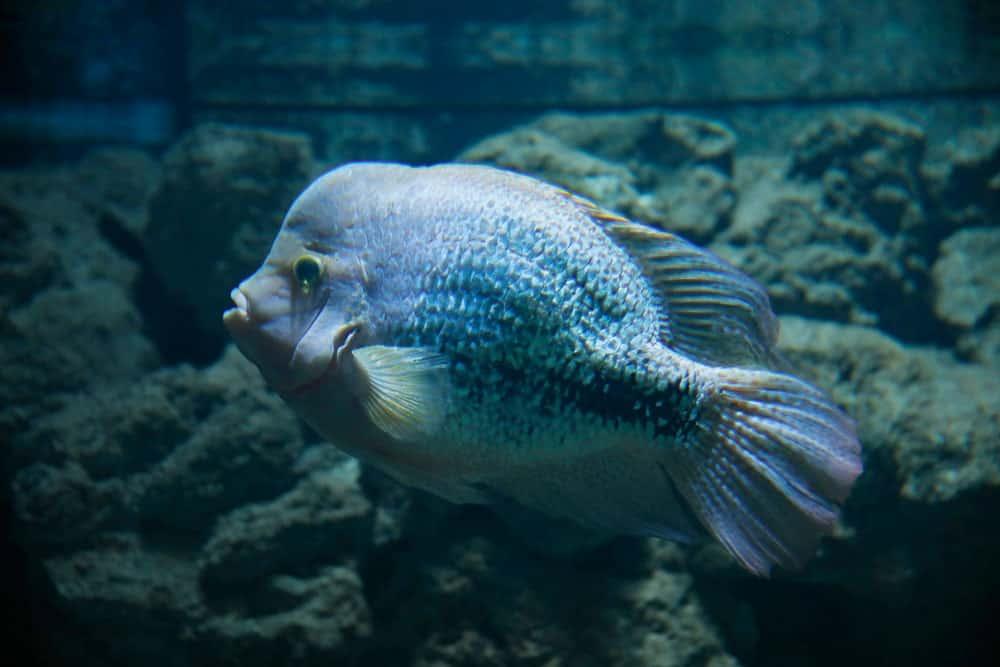 Lionhead Cichlid in water