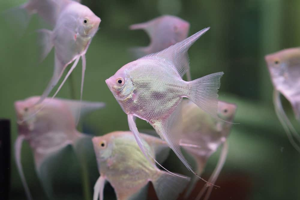 White angelfish in a tank