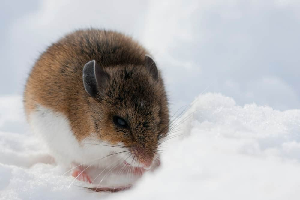 Deer Mouse rolled up into a ball