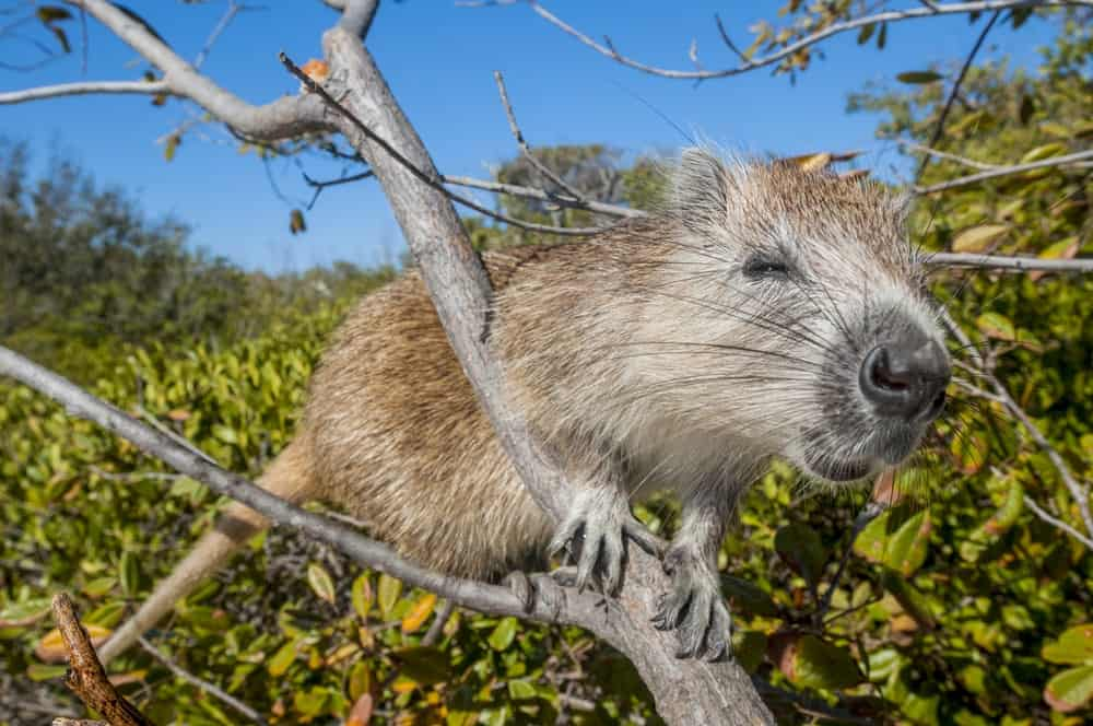 Hutia resting on a tree branch