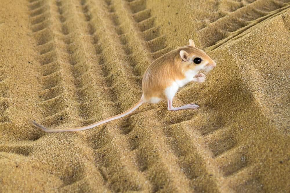 Kangaroo Rat in the sand