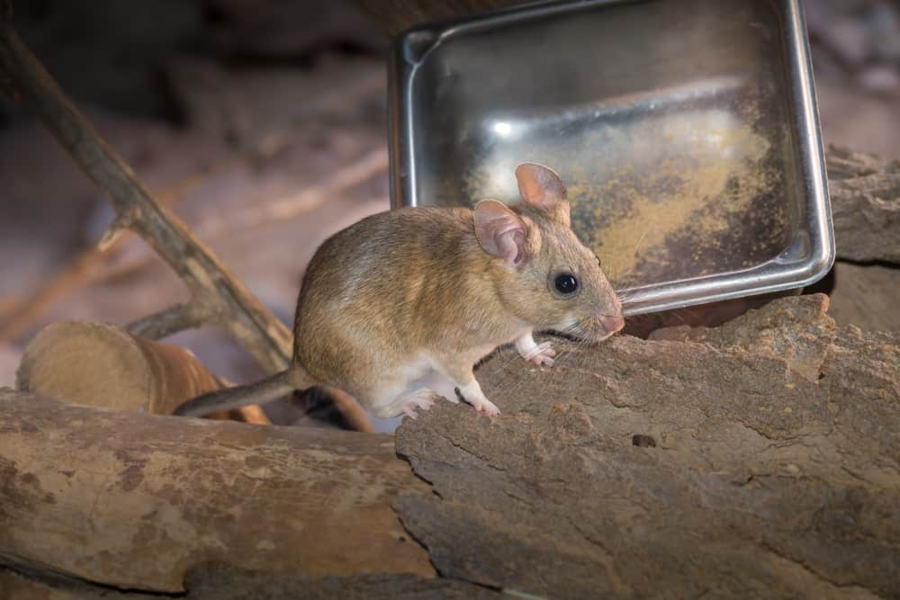 Pack rat in the sand
