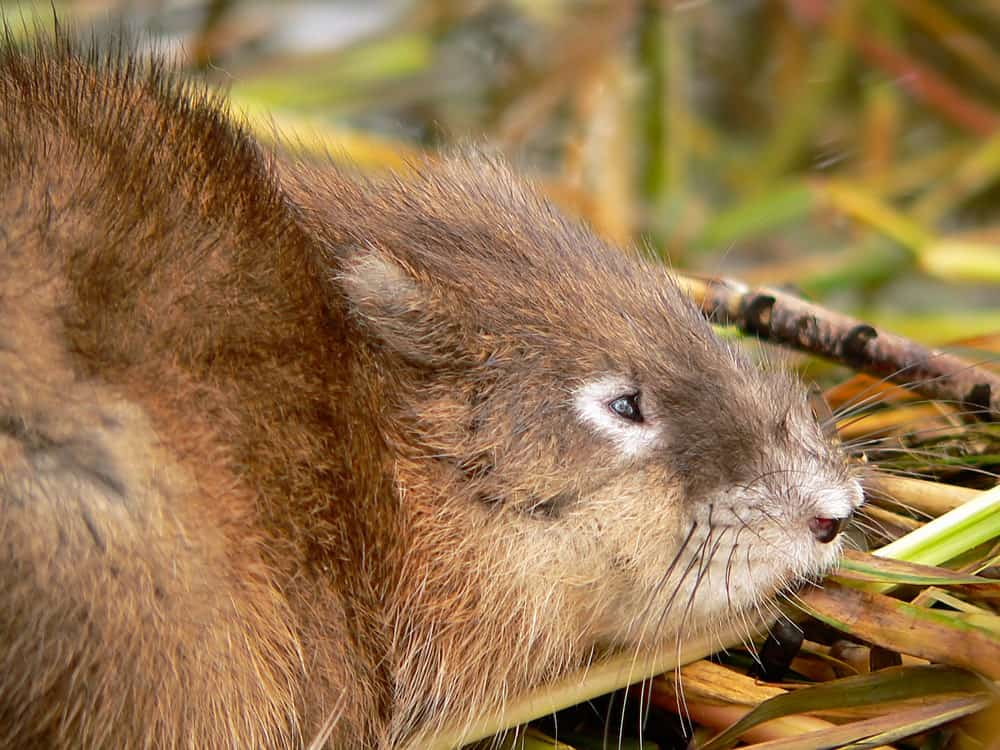 Cane Rat eating leaves