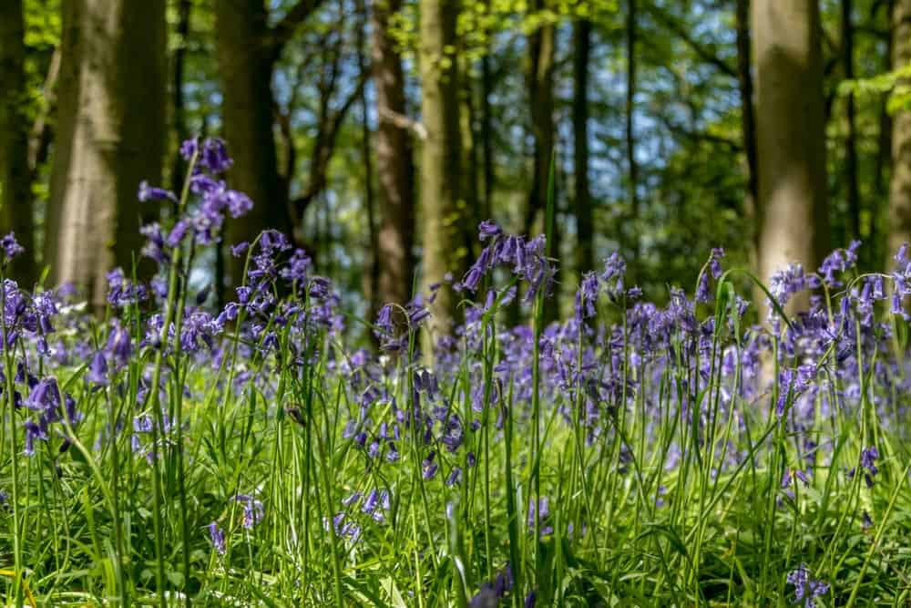 A Forest of Bluebells