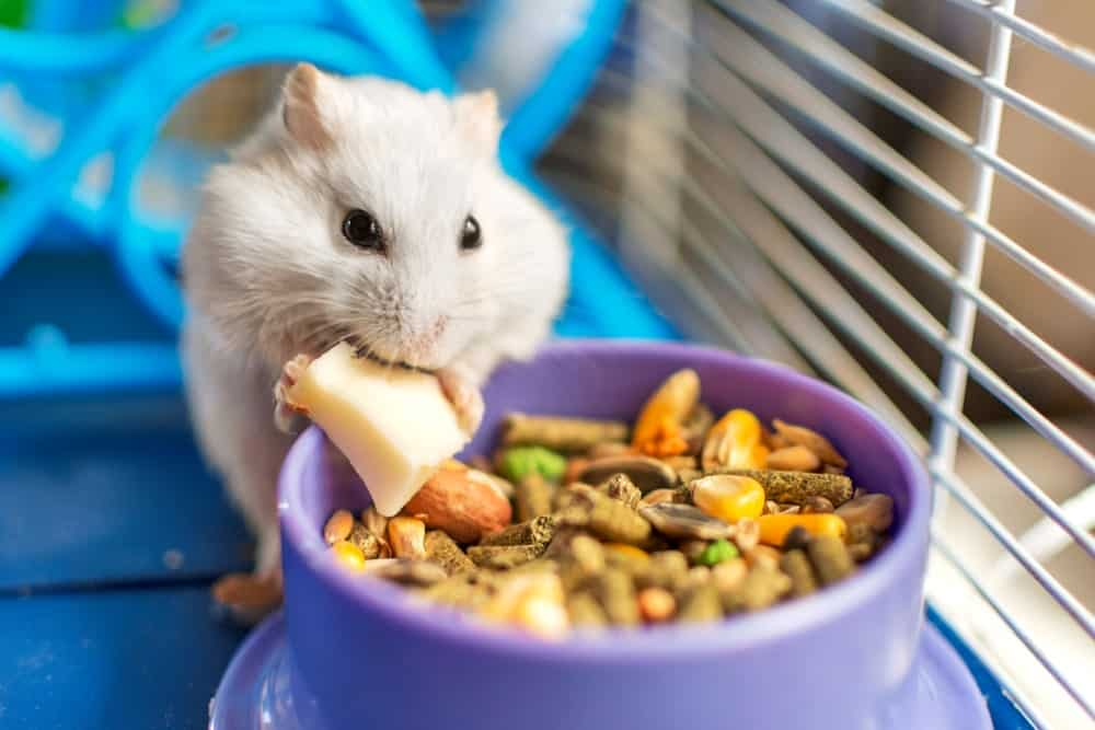 Hamster eating a meal