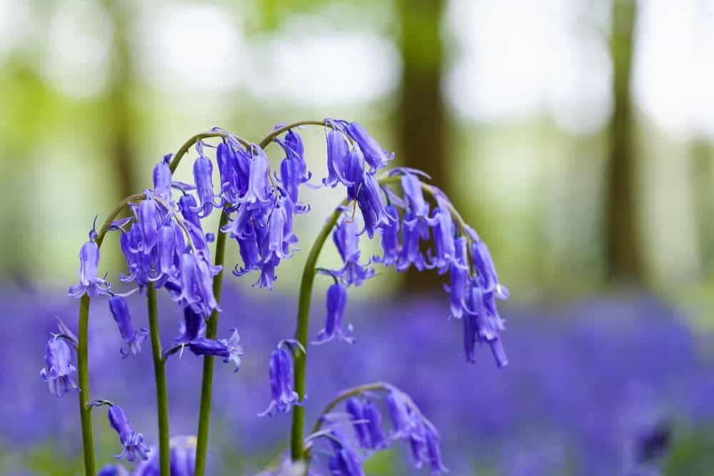 English Bluebells in a Woodland