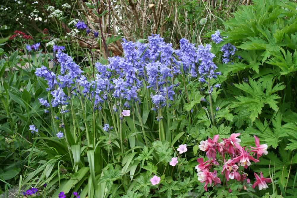 Spanish Bluebells Growing in a Garden