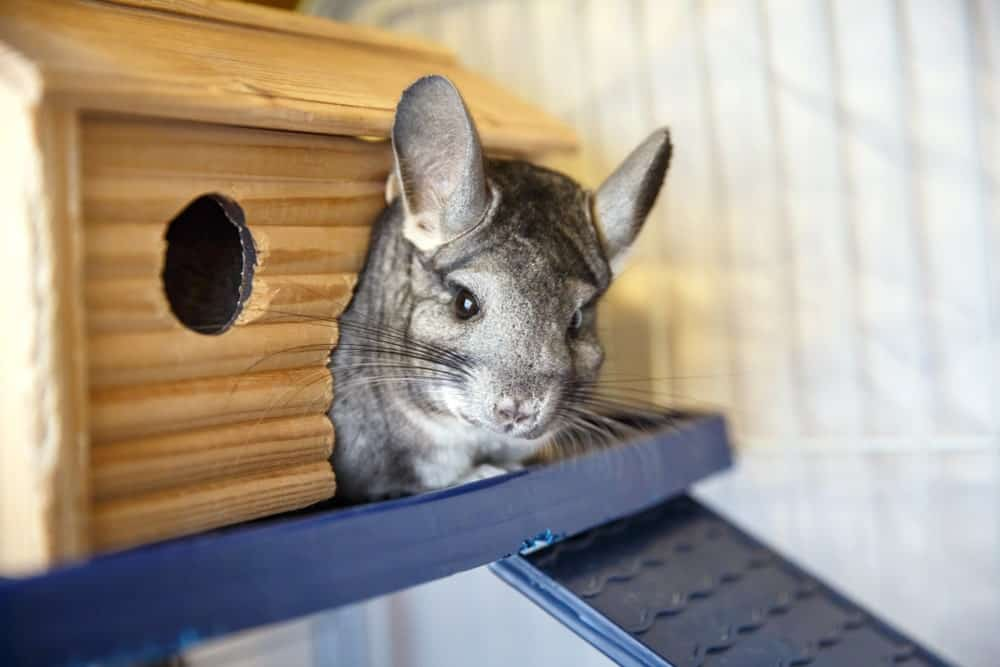 Chinchilla in a den