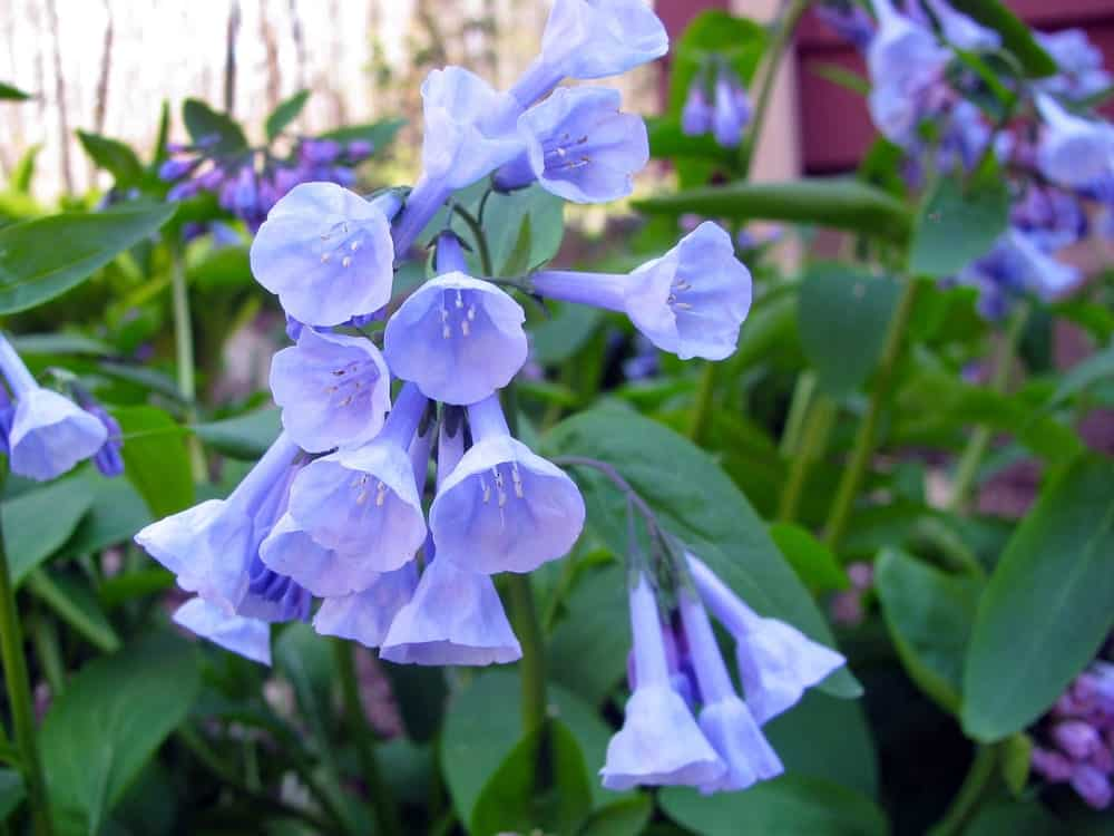A garden of Virginia Bluebells