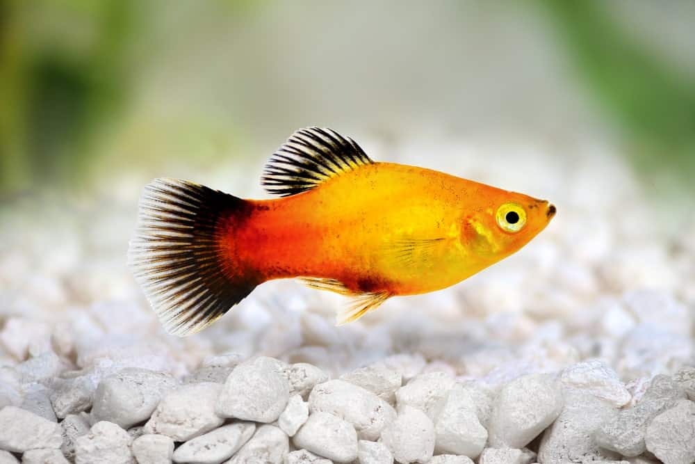 Platy with black tail