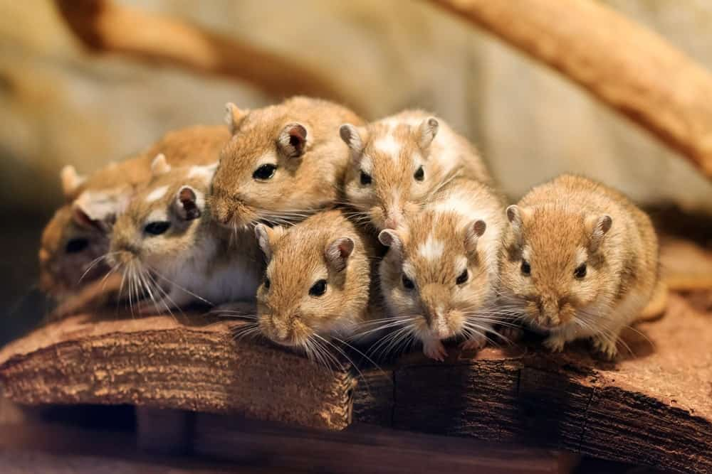Gerbils huddle together