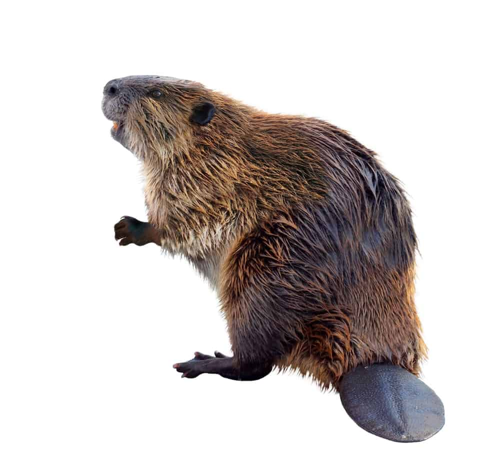Beaver looking up