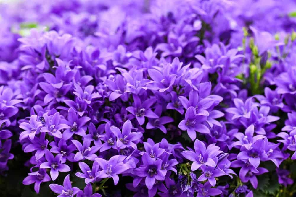 Bright Purple Campanula Bluebells