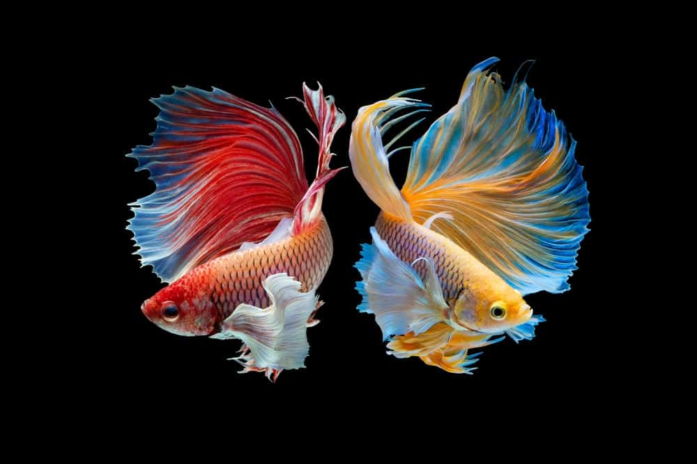 Two bettas infront of a black background