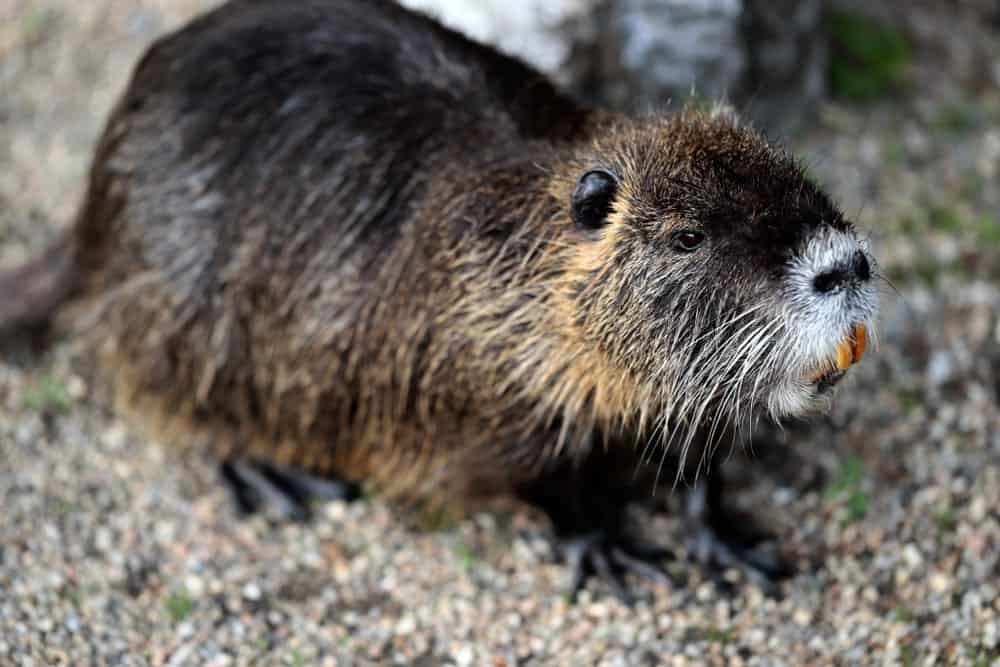 Coypu sitting on the ground