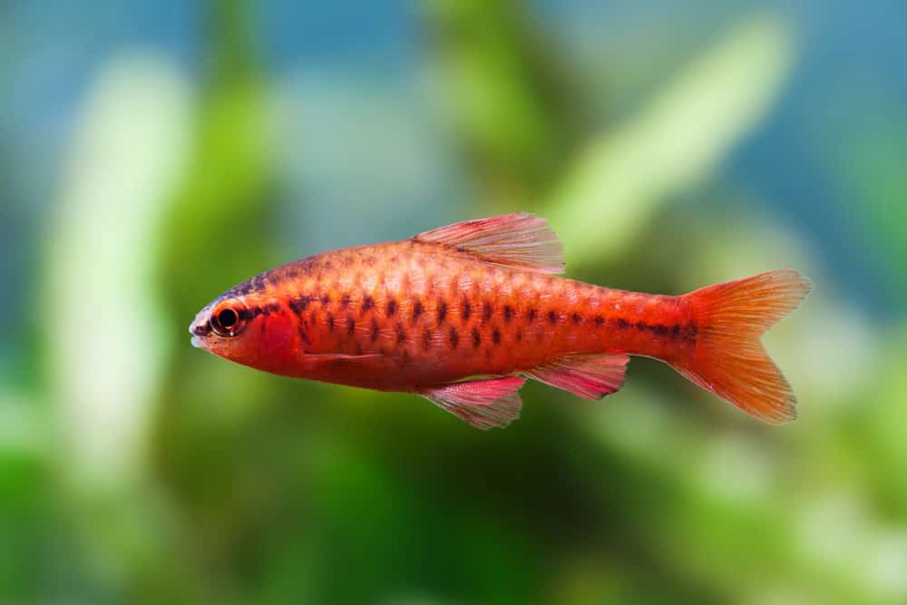 Red Cherry Barb