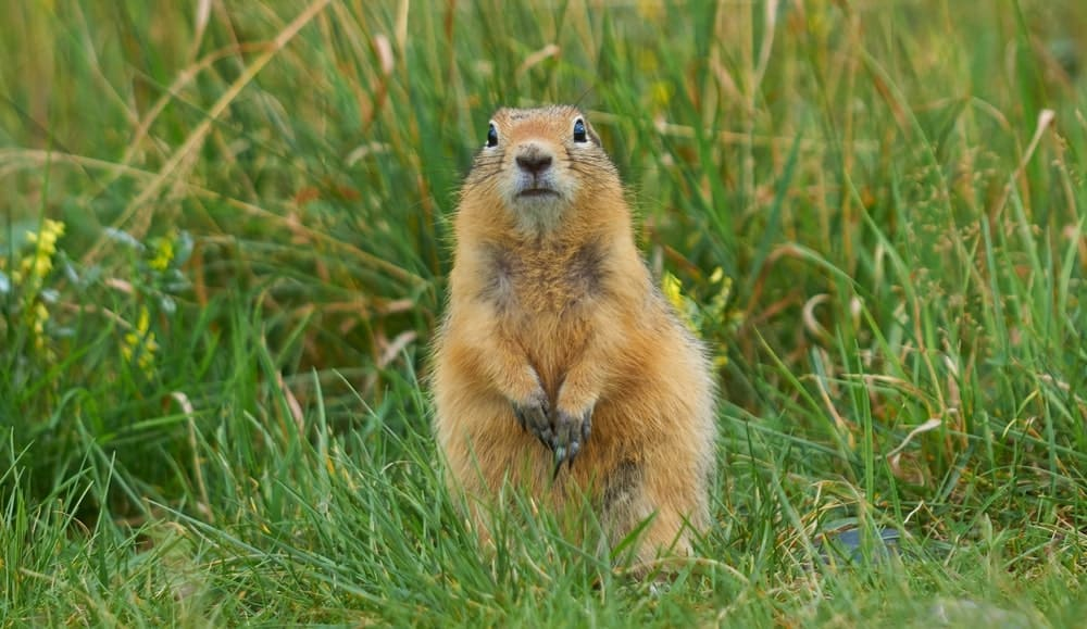 Gopher sitting on the grass