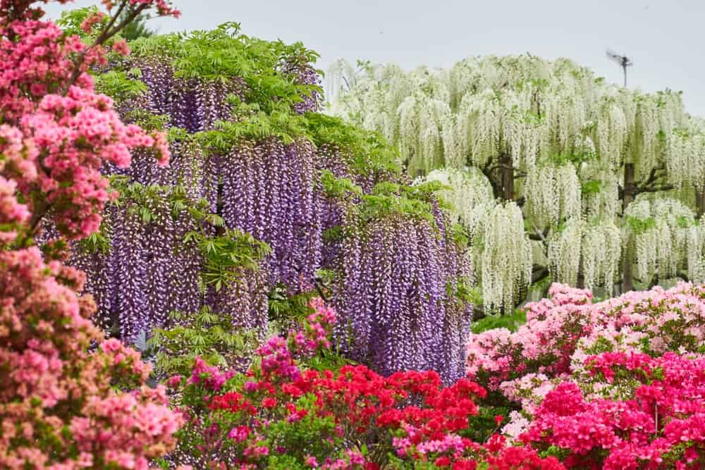 Wisteria Bursting with Stunning Colors