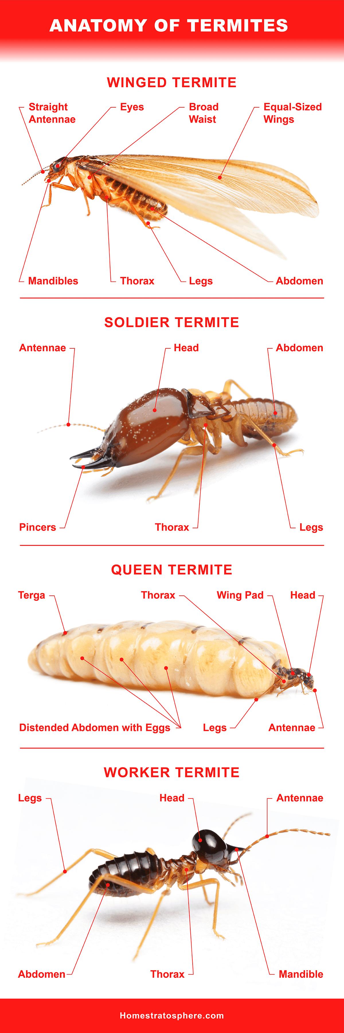 Anatomy of Termites