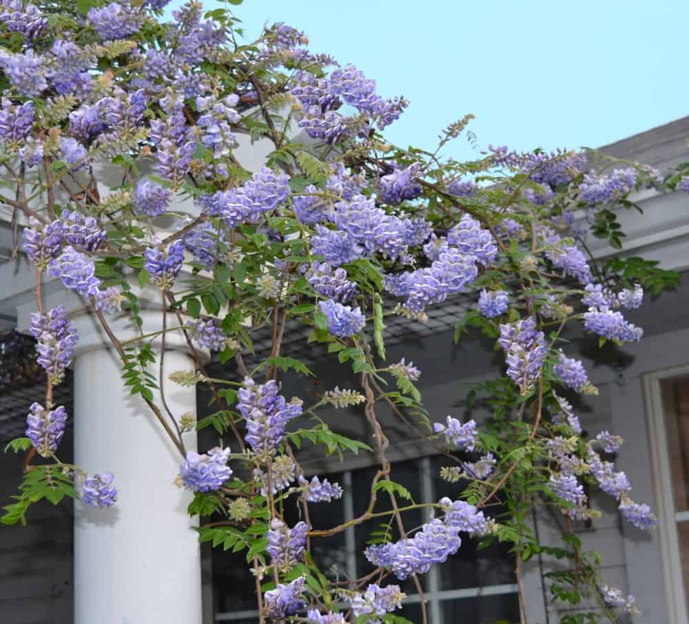 Blooming American Wisteria
