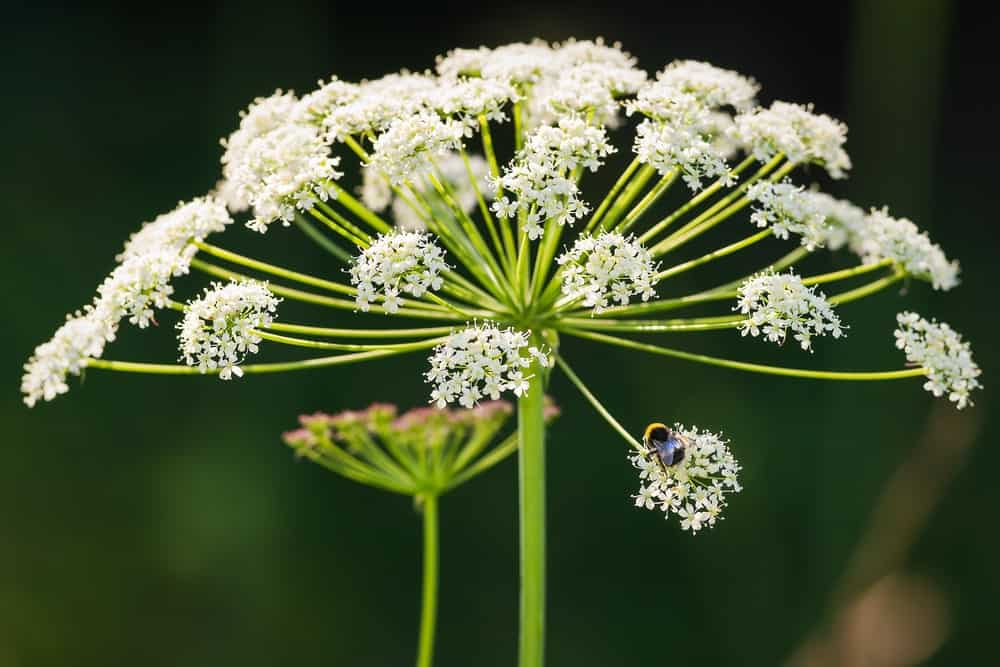 Cow parsley flower