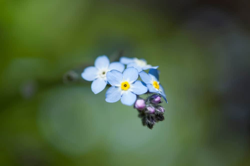 Blue Broadleaf Forget-Me-Nots with Yellow Centre