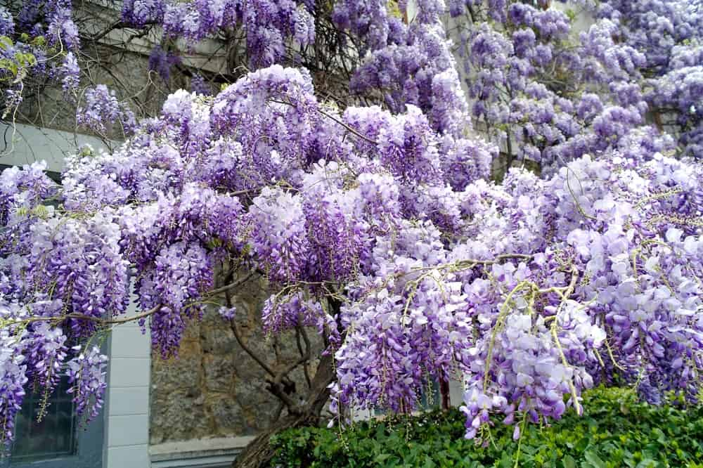 Breathtaking Chinese Wisteria