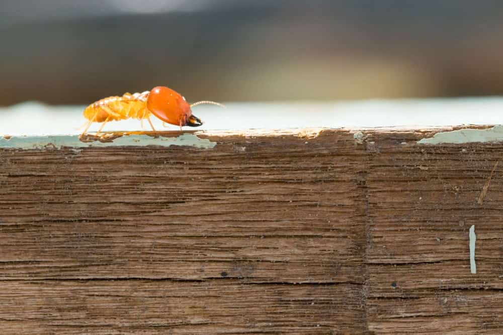 A Conehead Termite on a Piece of Wood