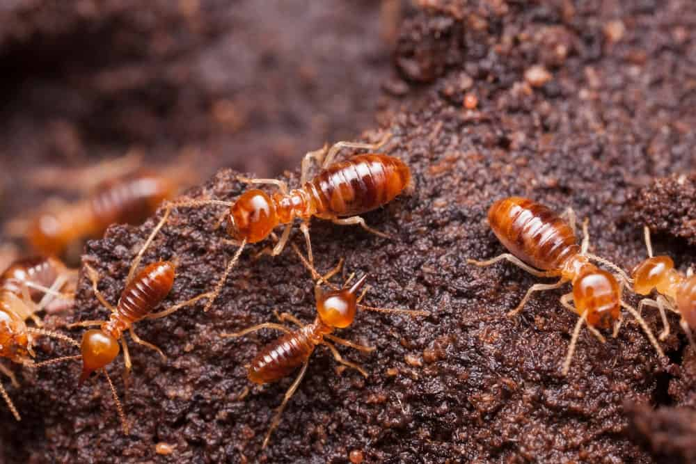 A Nest of Dampwood Termites